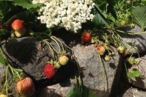 Erdbeeren im B & B Albertine Garten