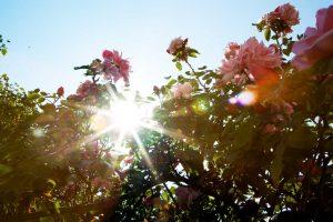 Albertine Rose – ein Traum von einer Rose im Bed and Breakfast Hotel Albertine