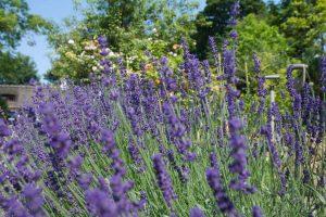Schöner Lavendel im Garten im BB Hotel Albertine